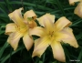 Oakes-Daylilies-Country-French-daylily-001