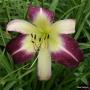 Oakes-Daylilies-Andy's-Awe-daylily