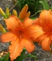 Oakes-Daylilies-Super-Coral-daylily-005
