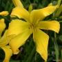 Oakes-Daylilies-Dancing-Lions-daylily