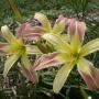Oakes-Daylilies-Chloe-daylily-003