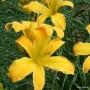 Oakes-Daylilies-Dancing-Lions-daylily-003