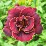 Oakes-Daylilies-Night-Embers-daylily-002