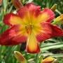 Oakes-Daylilies-Wispy-Rays-daylily