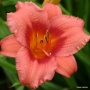 Oakes-Daylilies-Little-Strawberry-Shortcake-001