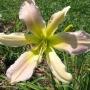 Oakes-Daylilies-Cerulean-Star-daylily-001