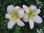Oakes-Daylilies-Catherine-Woodbery-daylily-001