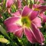 Oakes-Daylilies-Flutterbye-daylily