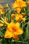 Oakes-Daylilies-Olympic-Gold-001