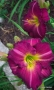 Oakes-Daylilies-Siloam-Royal-Prince-daylily-001