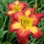 Oakes-Daylilies-Wispy-Rays-daylily-003
