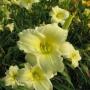 Oakes-Daylilies-Miss-Amelia-daylily-004