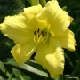 Oakes-Daylilies-Frozen-Jade-daylily-002