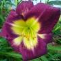 Oakes-Daylilies-Bela-Lugosi-daylily-004