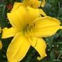 Oakes-Daylilies-Mary-Todd-daylily-005
