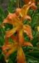 Oakes-Daylilies-Let-It-Rip-003
