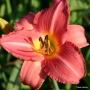 Oakes-Daylilies-Cedar-Waxwing-daylily-002