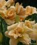 Oakes-Daylilies-Silent-Thunder-daylily-004