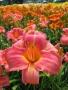 Oakes-Daylilies-Persian-Market-daylily-005