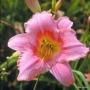 Oakes-Daylilies-Judith-daylily-003
