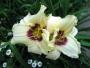 Oakes-Daylilies-Pandora's-Box-daylily-004