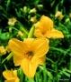 Oakes-Daylilies-Sparkling-Orange-daylily-002