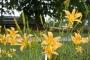 Oakes-Daylilies-Autumn-Minaret-daylily-003