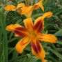 Oakes-Daylilies-Calico-Spider-daylily-003