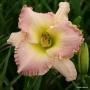 Oakes-Daylilies-Elusive-Happiness-daylily-002