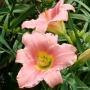 Oakes-Daylilies-Judith-daylily-001