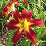 Oakes-Daylilies-Holly-Dancer-daylily-003