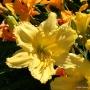 Oakes-Daylilies-Siloam-Space-Age-daylily-001
