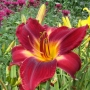 Oakes-Daylilies-Red-Volunteer-daylily-006