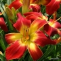 Oakes-Daylilies-All-American-Chief-daylily-002