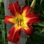 Oakes-Daylilies-Spider-Man-daylily-003