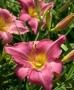 Oakes-Daylilies-Chicago-Arnie's-Choice-daylily