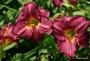 Oakes-Daylilies-Siloam-Royal-Prince-daylily-003