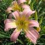 Oakes-Daylilies-Lilting-Belle-005