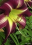 Oakes-Daylilies-Peacock-Maiden-daylily-002
