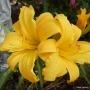 Oakes-Daylilies-Mary-Todd-daylily-007