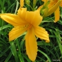 Oakes-Daylilies-Mico-004