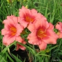 Oakes-Daylilies-Little-Strawberry-Shortcake-003