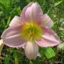 Oakes-Daylilies-Catherine-Woodbery-daylily-003