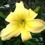 Oakes-Daylilies-Lemon-Vista-004