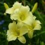 Oakes-Daylilies-Miss-Amelia-daylily-005