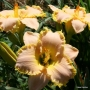 Oakes-Daylilies-Spring-Garden-Greeting-daylily