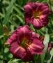 Oakes-Daylilies-Siloam-Royal-Prince-daylily-006