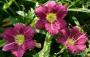 Oakes-Daylilies-Woodside-Rhapsody-daylily-003