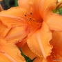 Oakes-Daylilies-Super-Coral-daylily-006
