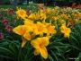Oakes-Daylilies-Olympic-Gold-004